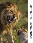 Small photo of Adult male lion is roaring to other one.He has a mane with gold brown color. His face and canines teeth can seen clearly. Heâ??s angry and powerful