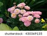 Stock photo rose in the garden 430369135