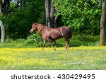 A Brown Horse Walking In A...