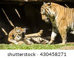 angry malayan tiger fighting ... | Shutterstock . vector #430458271