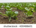 field planted with seedlings of ... | Shutterstock . vector #430488601