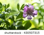 pink peony on a bed of greenery ...   Shutterstock . vector #430507315