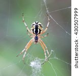 Small photo of spider in macro (Mangora acalypha)