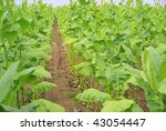 cultivated tobacco | Shutterstock . vector #43054447