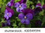 Purple Violet Flowers