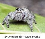 Salticus Scenicus Female...