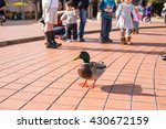 A Duck Standing On The Pavemen...