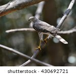 Small photo of Besra (Accipiter virgatus), a bird of prey, is perching on a small branch in the forest of Thailand.