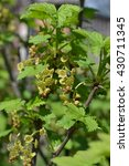 Small photo of Ribes rubrum. Red currant bush. Flowers red currant. Red currant in spring. Red currant in sunlight