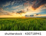 Green Wheat Field   Sunset Shot