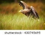 White Tailed Eagle Starts Prey...