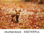 Surprised Red Fox In Autumn...
