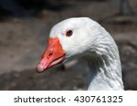 white goose head portrait close ...   Shutterstock . vector #430761325