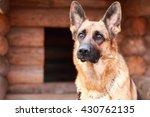 Shepherd Dog.