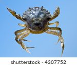 crab on the beach | Shutterstock . vector #4307752
