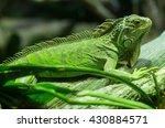 A Green Iguana Standing On A...