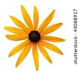 Single Black Eyed Susan Flower