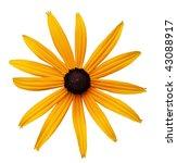 Single Black Eyed Susan Flower