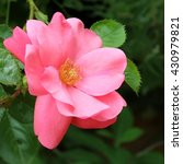 pink rose | Shutterstock . vector #430979821