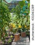 growing vegetables in a... | Shutterstock . vector #431061289