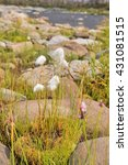 Small photo of Cottongrass is a plant of Taimyr. Clumps of cotton-grass among the rocks on the river Bank.