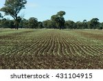 Rows Of Young Canola Plant In ...