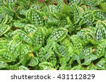 Small photo of nature background of chinese taro (Calathea picturata or Alocasia cucullata ) in the garden, beautiful pattern of leaves