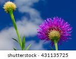 Small photo of Basket-flower (Plectocephalus americanus), or American star thistle with sky and clouds