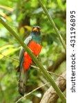 Small photo of Motley parrot Trogon massena
