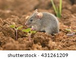 Eastern House Mouse   Mus...