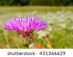 Small photo of selective focus foreground Basket-flower (Plectocephalus americanus), or American star thistle with dew droplets