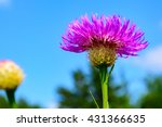 Small photo of Basket-flower (Plectocephalus americanus), or American star thistle with selective focus foreground