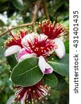 Small photo of Group of Acca Sellowiana flowers on a branch