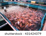 Red Tilapia Fish Farming...