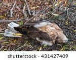 Roadkill Dead Falcon Lying On...
