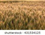 closeup of wheat ears in a... | Shutterstock . vector #431534125