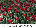flowerbed of red and pink tulips | Shutterstock . vector #431552974