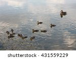 little ducks in the river | Shutterstock . vector #431559229