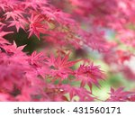 Red Japanese Maple Leaves On...