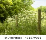 Queen Anne's Lace.  A Wild...