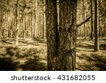 Two Pine Trees In A Pine Fores...