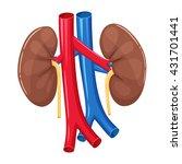 human kidney anatomy. medical... | Shutterstock .eps vector #431701441