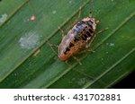 jungle roach  | Shutterstock . vector #431702881