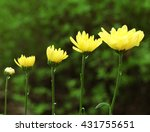 yellow blooming flowers on... | Shutterstock . vector #431755651
