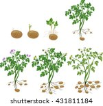 potato plant growth cycle | Shutterstock .eps vector #431811184