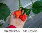 hand with strawberry | Shutterstock . vector #431824201