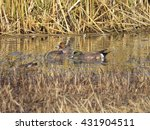 Small photo of Eurasian Wigeon with American Wigeon.