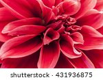 macro image of a red dahlia