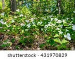Trilliums Shot From Ground...