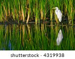 Great White Egret Stands...
